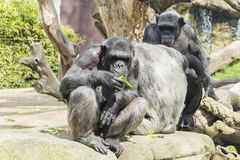 Grupa zabawni szympansy Zdjęcia Stock