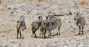 Grupa zebry w afrykanina parku Obrazy Stock