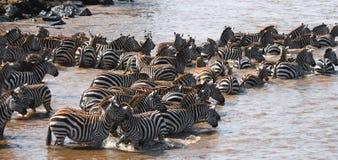 Grupa zebry w pyle Kenja Tanzania Park Narodowy kmieć Maasai Mara zdjęcie royalty free