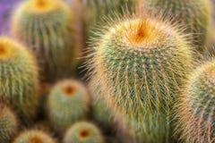 Grupa zieleni kaktusy z długimi, nikłymi prickles, zwarci gąszcze kaktus, zasięrzutny widok zdjęcia royalty free