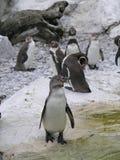 Grupo 2 de los pingüinos foto de archivo