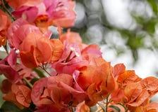 Grupo alaranjado da buganvília do fim da flor acima com bokeh no fundo fotografia de stock