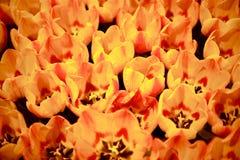 Grupo alaranjado das tulipas Imagem de Stock