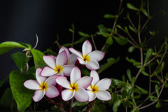Grupo amarelo cor-de-rosa do plumeria da flor com a planta da natureza no CCB preto Foto de Stock
