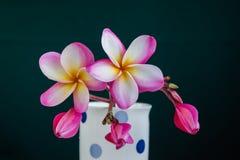 Grupo amarelo cor-de-rosa do plumeria da flor com a planta da natureza no CCB preto Foto de Stock Royalty Free