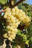 Grupo amarelo da uva Imagem de Stock
