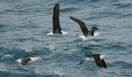 Grupo Black-browed del albatros Imagen de archivo