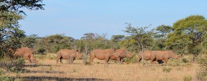 Grupo blanco del rinoceronte Fotografía de archivo