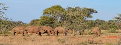 Grupo blanco del rinoceronte Imagen de archivo