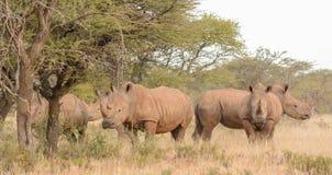 Grupo blanco del rinoceronte Foto de archivo