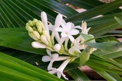Grupo bonito da flor e dos botões do tuberose cobertos com o fundo verde transversal das folhas fotos de stock royalty free