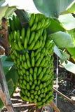 Grupo bonito das bananas em uma árvore de banana na ilha de Madeira em Portugal imagem de stock