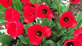 Grupo bonito de tulipas vermelhas filme