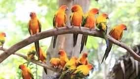 Grupo bonito do pássaro do papagaio de Sun Conure no ramo de árvore filme