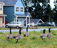 Grupo canadiense de los gansos Fotos de archivo libres de regalías