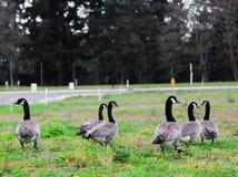 Grupo canadiense de los gansos Imagen de archivo