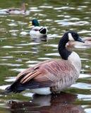 Grupo canadiense de los gansos Imágenes de archivo libres de regalías