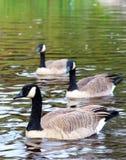 Grupo canadiense de los gansos Imagen de archivo libre de regalías