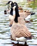 Grupo canadiense de los gansos Imagenes de archivo