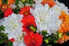 Grupo colorido de flores da dália Fotografia de Stock Royalty Free