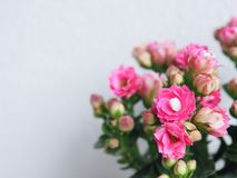 Grupo cor-de-rosa das flores Fotos de Stock