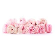 Grupo cor-de-rosa das rosas Foto de Stock