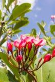 Grupo cor-de-rosa doce do plumeria da flor e fundo natural Fotos de Stock Royalty Free
