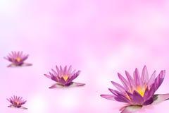Grupo cor-de-rosa dos lótus no fundo expansível do borrão fotografia de stock