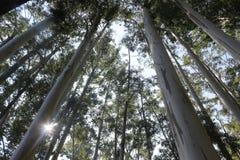 Grupo da árvore de eucalipto nas madeiras com por do sol fotografia de stock