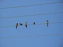 Grupo da andorinha no fio Foto de Stock