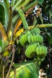 Grupo da banana Imagens de Stock Royalty Free