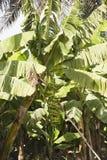 Grupo da banana na árvore Foto de Stock