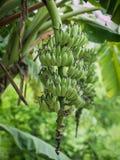Grupo da banana verde Fotografia de Stock Royalty Free