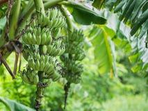 Grupo da banana verde Fotografia de Stock