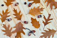 Grupo da bolota do carvalho das sementes da árvore de fruto das folhas das folhas de outono do outono de folhas fotos de stock