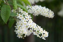 Grupo da cereja de pássaro branca de florescência Imagem de Stock