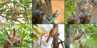 Grupo da colagem da raia - pássaro orelhudo do bulbul no ninho e no branc da árvore Imagens de Stock Royalty Free
