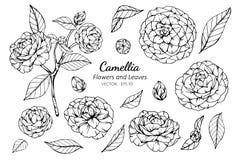 Grupo da coleção de flor e de folhas da camélia que tiram a ilustração imagem de stock
