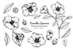 Grupo da coleção de flor e de folhas do japonica da camélia que tiram a ilustração foto de stock