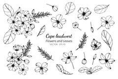 Grupo da coleção de flor e de folhas do leadwort do cabo que tiram a ilustração fotografia de stock royalty free