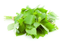 Grupo da erva fresca da especiaria da manjericão/isolado Imagens de Stock