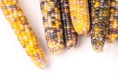Grupo da espiga de milho colorido secada orgânica pronta para estalar a pipoca ou o grão foto de stock