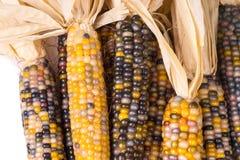 Grupo da espiga de milho colorido secada orgânica pronta para estalar a pipoca ou o grão fotos de stock