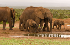 Grupo da família de beber dos elefantes Imagem de Stock