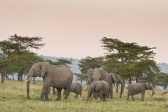Grupo da família do elefante africano no Masai Mara fotografia de stock