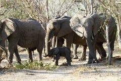 Grupo da família dos elefantes africanos nas planícies Foto de Stock