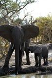 Grupo da família dos elefantes africanos nas planícies Fotografia de Stock