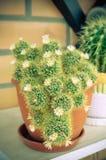 Grupo da flor branca dos cactos do Mammillaria Imagens de Stock Royalty Free