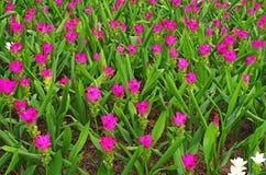Grupo da flor da tulipa de Sião fotos de stock royalty free