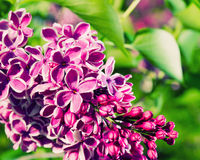 Grupo da flor do lilac Fotografia de Stock Royalty Free